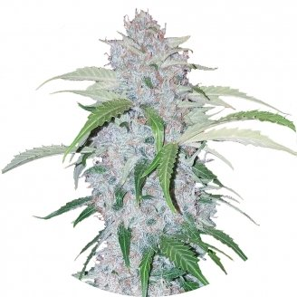 Six Shooter Auto Fem.